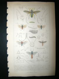 Cuvier C1835 Antique Hand Col Print. Cimbex, Schizacerz, Athalia, 74 Insects